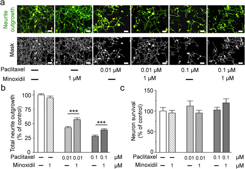 The neuroprotective effects of minoxidil on the neurite outgrowth of dorsal root ganglion (DRG) neurons. To test neuroprotective effects of minoxidil, primary culture of DRG neurons from 7-weeks-old C57/B6J mice were pre-treated with minoxidil for 24 hours and then exposed to 0.1 or 0.01 μM paclitaxel for another 24 hours. Minoxidil exhibited a significant neuroprotective effect against paclitaxel with regard to neurite outgrowth in DRG neurons. ( a ) Representative images show that minoxidil is a potential neuroprotective drug in vitro DRG neuron model. Scale bar, 50 μm. Green, anti-β-III tubulin antibody. Red, anti-NeuN antibody. ( b ) Quantitative analyses of neurite outgrowth in DRG neurons. (c) Quantitative analyses of neural viability in DRG neurons. Each value represents the mean ± S.E.M. from at least 5 different experiments. ***P
