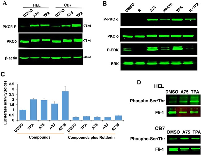 PKCA-induced phosphorylation of PKCδ, MAPK/ERK and induction of Fli-1 transcriptional activation can be reversed by the PKCδ-inhibitor Rottlerin A . A75 or TPA treatment (2μM) for 24 hours induces phosphorylation of PKCδ in both HEL and CB7 cell lines. B . Phosphorylation of MAPK/ERK and PKCδ in HEL cells treated with indicated compounds with or without PKCδ inhibitor Rottlerin. C . Fli-1 transcriptional activity induced by A75 and TPA compounds in HEK293T cells co-transfected with FB-Luc+MigR1-Fli-1 is blocked by Rottlerin. D . Extracts from CB7 and HEL cells were immunoprecipitated using anti-Fli-1 antibody followed by immune-blotting with anti-phospho-Serine/Threonine or anti-Fli-1 antibodies.