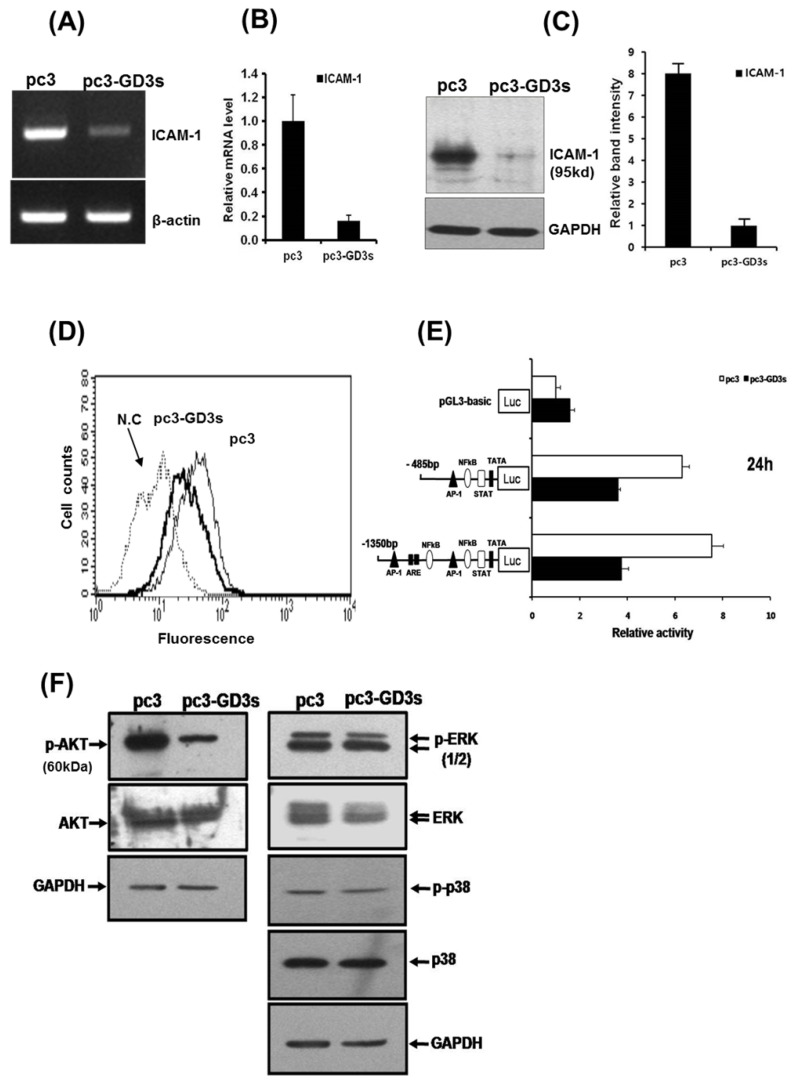 Downregulation of ICAM-1 expression (A, B, C, D, E) in pc3-GD3s cells. Expression levels of ICAM-1 mRNA were checked by RT-PCR (A) and real-time PCR (B). Expression of ICAM-1 confirmed by Western blot (C) and FACS analysis (D). A schematic representation of DNA constructions containing two different forms of the ICAM-1 promters linked to the luciferase reporter gene is shown. The values represent the mean ±S.D. for three independent experiments with triplicate measurements (E). Inhibition of AKT phosphorylation in pc3-GD3s cells (F). Total protein extracts from pc3 and pc3-GD3s cells were examined by Western blot analysis with anti-phospho-AKT, anti-AKT, anti-phospho-ERK1/2, anti-ERK1/2, anti-phospho-p38 and anti-p38 antibodies. The nonspecific IgG antiserum has been used to block the cell reaction. GAPDH was included as an internal control. All experiments performed at least three times and we examined mean differences between groups by using the error bar graph procedure.
