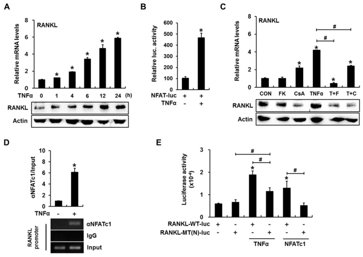 Calcineurin/nuclear factor of activated T-cells (NFAT) activation is involved in tumor necrosis factor α (TNFα)-induced receptor activator of nuclear factor-κB ligand ( RANKL ) expression in C2C12 cells. ( A ) TNFα increased RANKL expression in a time-dependent manner. C2C12 cells were incubated in the presence of 10 ng/mL TNFα for the indicated time periods and subjected to quantitative reverse transcription-polymerase chain reaction (RT-PCR) and western blot analyses. Quantitative data are presented as means ± standard deviations (SD); ( B ) TNFα induces NFAT transcriptional activity. C2C12 cells were transfected with a reporter plasmid containing an NFAT response element, exposed to TNFα for 24 h, and subjected to a luciferase assay. Data are presented as firefly luciferase activity levels relative to Renilla activity; ( C ) Inhibition of the calcineurin/NFAT pathway blocked TNFα-mediated RANKL expression. C2C12 cells pretreated with FK506 (10 μg/mL) or cyclosporin A (10 μg/mL) were treated with TNFα for 24 h and subjected to RT-PCR and western blot analyses; ( D ) TNFα increases NFAT binding to the mouse RANKL promoter. C2C12 cells were incubated for 24 h with TNFα, after which a chromatin immunoprecipitation (ChIP) assay was performed using an antibody against NFATc1, with IgG serving as a negative control. The RANKL promoter region containing the NFAT binding element was amplified via PCR. Quantitative ChIP data were normalized to the input and are presented as values relative to vehicle-treated control samples (CON) ( E ) TNFα increased RANKL promoter–reporter activity in an NFAT binding element-dependent manner. C2C12 cells were transfected with a wild-type ( RANKL -WT-luc) or NFAT-binding site mutant ( RANKL -MT(N)-luc) RANKL promoter reporter, incubated for 24 h in the presence of TNFα or NFAT overexpression vector, and subjected to a luciferase assay (* p