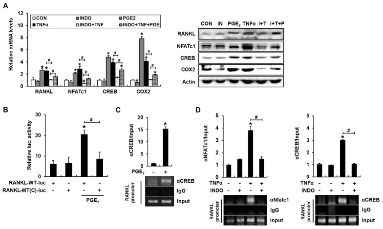 The COX inhibitor indomethacin blocks TNFα-induced binding of NFATc1 and cAMP response element-binding protein (CREB) to the RANKL promoter in C2C12 cells. ( A ) PGE 2 increased the expression of RANKL , NFATc1, CREB, and COX2, whereas indomethacin suppressed TNFα-mediated RANKL , NFATc1, CREB, and COX2 expression. Treatment with PGE 2 in the presence of indomethacin and TNFα partially rescued the expression of RANKL , NFATc1, CREB, and COX2. C2C12 cells were incubated with the indicated reagents for 24 h and subjected to RT-PCR and western blot analyses; ( B ) PGE 2 increased RANKL promoter–reporter activity in a CREB binding element-dependent manner. C2C12 cells were transfected with RANKL -WT-luc or a CREB-binding site mutant ( RANKL -MT(C)-luc) RANKL promoter, incubated for 24 h in the presence of PGE 2 , and subjected to a luciferase assay; ( C ) PGE 2 induced CREB binding to the mouse RANKL promoter. C2C12 cells were incubated for 24 h with PGE 2 and subjected to a ChIP assay with CREB and control IgG antibodies. The RANKL promoter region containing the CREB-binding element was then amplified; ( D ) Indomethacin prevented TNFα-induced NFAT and CREB binding to the mouse RANKL promoter. C2C12 cells were incubated for 24 h with the indicated reagents and subjected to a ChIP assay (* p