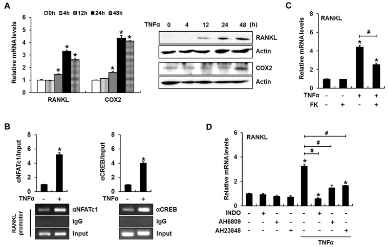 PGE 2 production and NFAT activation are necessary for TNFα-induced RANKL expression in primary cultured mouse calvarial cells. ( A ) TNFα enhanced the expression of RANKL and COX2. Calvarial cells were incubated in the presence of TNFα for the indicated time periods and subjected to RT-PCR and western blot analyses; ( B ) ChIP assays revealed that TNFα increased NFATc1 and CREB binding to their cognate binding sites in the mouse RANKL promoter; ( C ) A calcineurin/NFAT signaling inhibitor suppressed TNFα-induced RANKL expression. Calvarial cells were incubated for 24 h in the presence of FK506 and TNFα; ( D ) Treatment with a COX2 inhibitor or PGE 2 receptor antagonists suppressed TNFα-induced RANKL expression. (* p