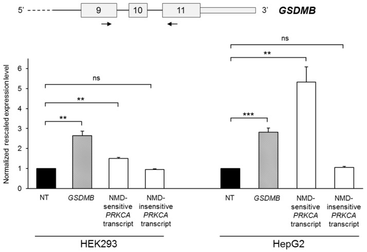 Evaluation of GSDMB susceptibility to nonsense-mediated mRNA decay (NMD). The upper panel shows a partial scheme of the GSDMB gene and the position of the primer couple used in the semi-quantitative real-time RT-PCR assay. The lower panel represents GSDMB total expression levels in HEK293 and HepG2 cells lines untreated (NT) or treated for 8 h with cycloheximide. Expression levels of two PRKCA transcripts, sensitive and insensitive to NMD, are also shown. The expression level of the untreated sample was set to 1. Bars represent means + SEM (standard error of the mean) of three independent experiments, each performed in triplicate. Significance levels of t -tests are shown. ** p