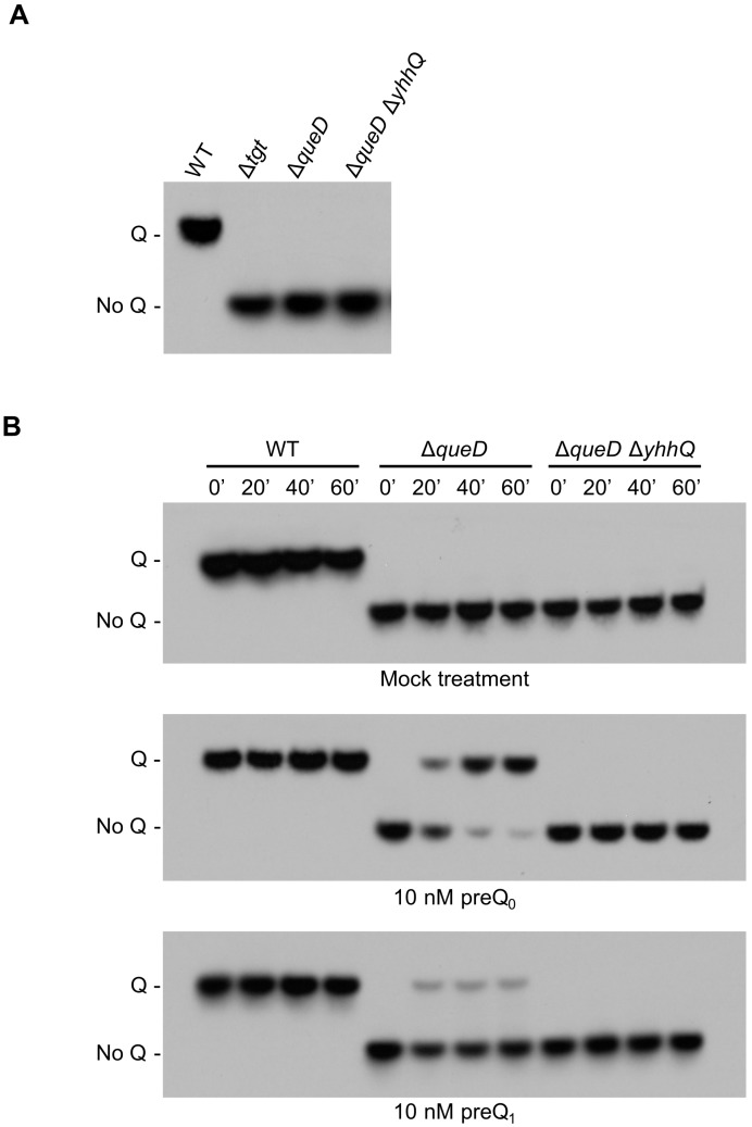 Detection of Q in tRNA Asp GUC as a representative of the salvage of the Q precursors preQ 0 and preQ 1 . E. coli bulk tRNAs were separated in an 8 M urea, 8% polyacrylamide gel containing 0.5% 3-(acrylamido)phenylboronic acid and then transferred to a nylon membrane. The transferred tRNAs were probed with a biotinylated primer, and visualized by chemiluminescence. ( A ) tRNAs modified with Q migrate slower than unmodified tRNA, as illustrated with tRNA from Wild Type (WT), and Δ tgt grown in <t>Luria-Bertani</t> (LB - positive and negative control, respectively). tRNAs from Δ queD and Δ queD Δ yhhQ grown in defined minimal medium M9 + 0.5% glycerol do not have Q; ( B ) test of the salvage capability of the WT (positive control for Q detection), Δ queD and Δ queD Δ yhhQ strains towards mock (negative control), 10 nM preQ 0 and 10 nM preQ 1 treatments. Representative Northern blots shown.