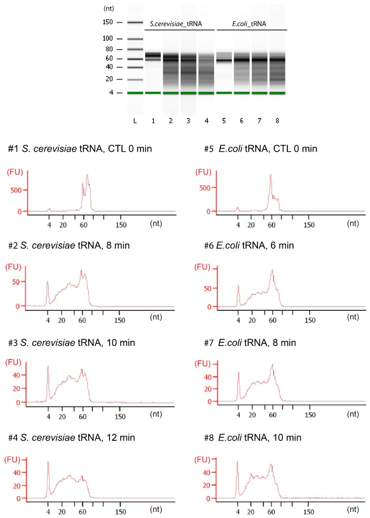 Fragmentation profiles for E. coli and S. cerevisiae total tRNA fractions. Alkaline hydrolysis was performed for 6–12 min (as indicated on the traces). Fragments size was analyzed by capillary electrophoresis on a Bioanalyzer 2100 (Agilent, Santa Clara, CA, USA) Small RNA Chip. FU: fluorescence unit.