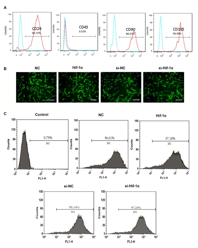 Bone mesenchymal stem cells (BMSCs) identification and efficiency of transduction. (A) Flow cytometry analysis for <t>CD29,</t> CD45, CD90 and CD105. (B) The immunofluorescent micrograph of BMSCs infected with hypoxia-inducible factor 1α (Hif-1α)-GFP lentiviral vector, Hif-1α siRNA or their negative controls (NCs). Scale bar = 200 μm. (C) Efficiency of gene transduction was detected by flow cytometry analysis.