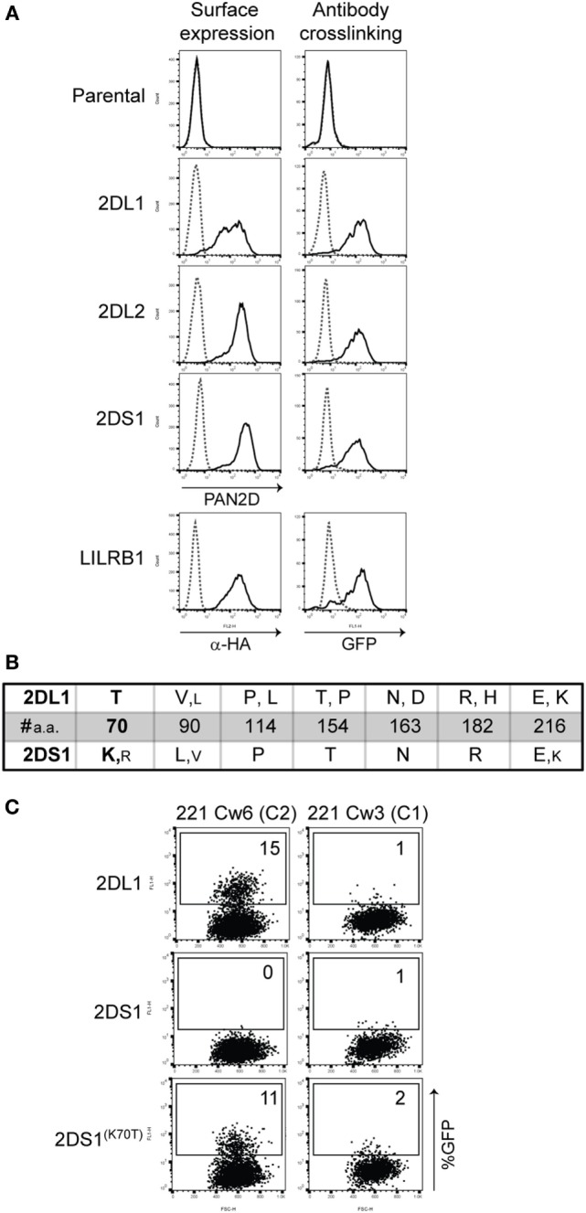 2B4 reporter system for activating killer cell Ig-like receptor (KIR) . (A) Cell-surface expression on the indicated reporter cells was measured by flow cytometry after staining the cells with PAN2D (clone NKVFS1, recognizes all KIRs) or anti-HA antibody (black line, left panel). Parental 2B4 cells containing only the adaptor protein were used as a negative control. To test the function of these reporter cells, plate-bound PAN2D (clone NKVFS1) or anti-HA (LILRB1 reporter only) antibody crosslinking (black line) was used to engage KIR or LILRB1 molecules on the reporter cells during an overnight incubation (right panel). IgG1 antibody was used as isotype control (dotted line). (B) Table depicting amino acid positions of polymorphic sites in the extracellular domain of KIR2DL1 and -2DS1 alleles. Large letters indicate amino acids present in the majority of alleles, and small letters indicate amino acids that are present in few alleles. At position 70, a unique amino acid in KIR2DL1 and -2DS1, threonine (T) and lysine (K), respectively, was found. Allele sequences were aligned using the alignment tool in the IPD-KIR database . (C) KIR2DS1 (K70T) was transfected into the 2B4 reporter system and an overnight coculture was performed using KIR2DL1, -2DS1, or -2DS1 (K70T) reporter cells together with 721.221 cells expressing human leukocyte antigen (HLA)-Cw3 (C1) or HLA-Cw6 (C2). The next day green fluorescent protein (GFP) expression was measured by flow cytometry. The E:T ratio of the coculture was 1:3.