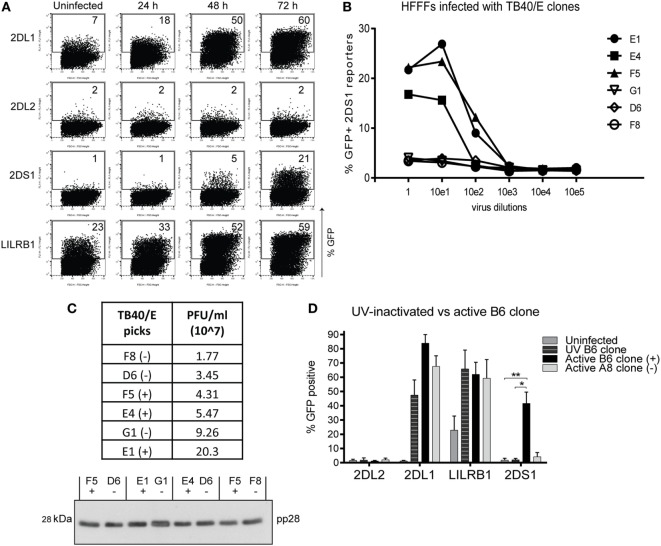 The KIR2DS1 reporter cell recognizes a ligand on human fetal foreskin fibroblasts (HFFFs) infected with specific human cytomegalovirus (HCMV) strains . (A) Uninfected HFFFs and 24, 48, and 72 h infected HFFFs with HCMV TB40/E strain with an MOI of 10 were cocultured overnight with the reporter cells as indicated. A representative experiment of two independent time course cocultures is shown. (B) HFFFs were infected with six different TB40/E-isolated clones (E1, E4, F5, G1, D6, and F8) in 10-fold serial dilutions for 72 h and cocultured with KIR2DS1 reporter cells. A representative experiment from over three independent experiments is depicted. (C) The infectivities of three positive and three negative TB40/E clones were calculated by TCID 50 assay and are depicted in the table (virus titers in PFU/ml). Viral particles were isolated from the supernatant, lysed, and loaded onto a 12% SDS-PAGE gel for western blotting with anti-pp28 antibody. Positive and negative clones were paired based on approximately the same infectivity. Equal amounts of lysate from these pairs were loaded onto the gel. (−) indicates a negative clone, (+) positive clone. (D) HFFFs were stimulated with UV-inactivated TB40/E, infected with the positive B6 or negative A8 clone for 72 h. Forty-eight hours p.i. KIR2DL2 (negative control), KIR2DL1, LILRB1 (positive control), and KIR2DS1 reporter cells were added. After an overnight coculture, the GFP expression was measured using flow cytometry. The data are depicted as the mean ± SD of individual samples collected from five independent experiments. * p