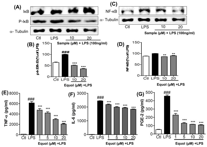 Effect of Equol on LPS-induced NF-κB activation and pro-inflammatory cytokines (TNF-α, IL-6) and PGE-2 secretion in BV-2 cells. BV-2 microglial cells were pretreated with 1, 5, 10, or 20 μM of Equol for 30 min and stimulated with LPS (100 ng/mL) for 1 h for NF-κB related proteins and 24 h for secreted cytokines measurement. Nuclear extracts were prepared using a nuclear extraction kit. Expression of NF-κB, IκB, and p-IκB were measured by western blot. ( A , B ) Protein levels of IκB and p-IκB and their band intensity, respectively; ( C , D ) NF-κB expression and its densitometric analysis. α-Tubulin was used as the loading control. The culture media was subsequently collected to measure the quantity of PGE-2, TNF-α, and IL-6 released by the cells; ( E – G ) secretion of TNF-α, IL-6 and PGE-2 in supernatant was measured using ELISA assay kit. Data are presented as mean ± SEM of three independent experiments performed in triplicate. ** p