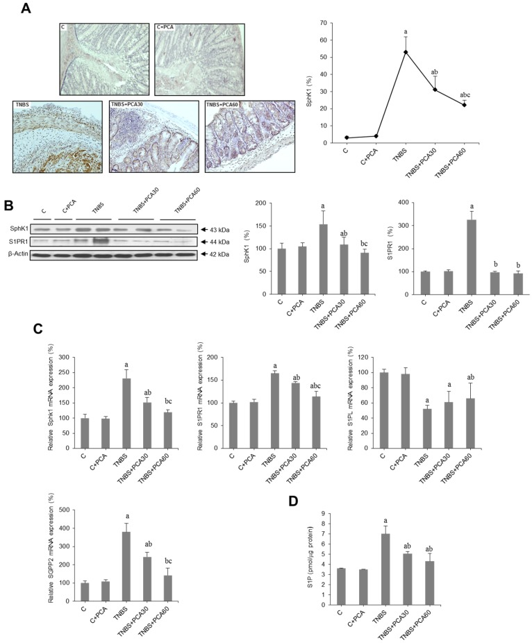 Effect of treatment with protocatechuic acid (PCA) on SphK/S1P signaling pathway-related genes in mice with 2,4,6-trinitrobenzenesulfonic acid (TNBS)-induced colitis. Representative sections of SphK1 immunohistochemistry in colonic tissues from C, C + PCA, TNBS, TNBS + PCA30 and TNBS + PCA60, and quantification of the positive cells. Image analysis was performed using the ImageJ software v3.91 with ten non-overlapping randomly chosen histological fields. Photographs are taken under magnification ×200 ( A ). Representative blots for SphK1 and S1PR1 protein, and results of densitometric quantification ( B ). mRNA expressions of SphK1, S1PR1, S1PL and SGPP2 genes ( C ), and level of S1P in colon homogenates analyzed by ELISA ( D ). Values are expressed as the means ± SEM of six mice per group. a p