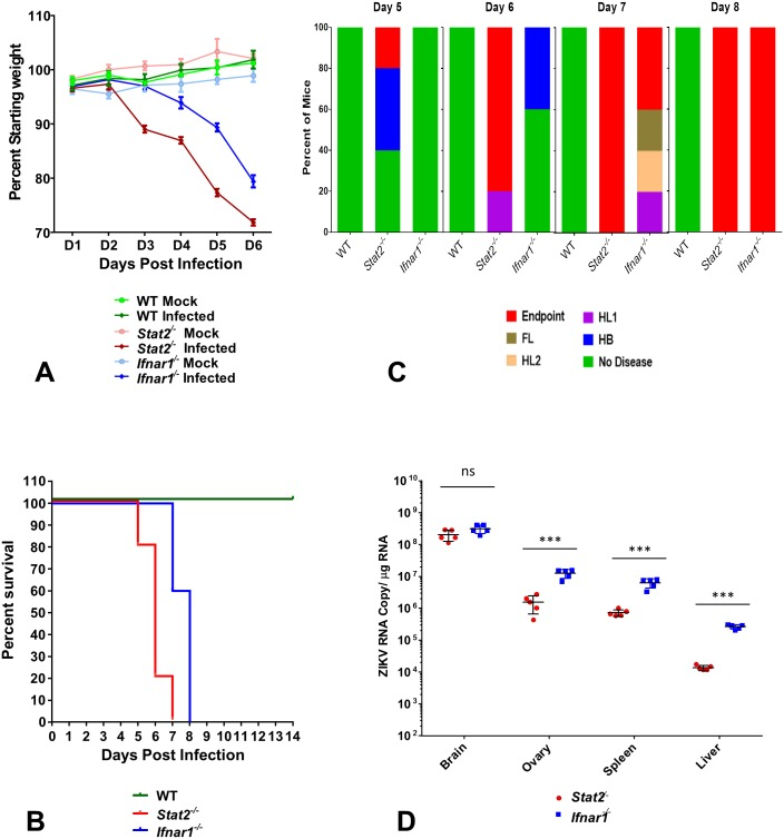 Stat2 -/- mice support ZIKV infection and recapitulate ZIKV pathogenesis and disease. Five to six week old female WT, Stat2 -/- and Ifnar1 -/- C57BL/6 mice (n = 5) were injected with 1,000 PFU of ZIKV strain MR766 by the subcutaneous route in the footpad. (A) Mice were weighed daily and weights are expressed as percentage of body weight prior to infection. Results shown are the mean ± standard error of the mean (SEM). Data are censored at 6 days after infection, as mice in the Stat2 -/- group succumbed to infection. (B) In a parallel set of mice (n = 5) lethality was monitored for 14 days. (C) Clinical signs of ZIKV infection were monitored every day in the group of animals used for survival analysis (n = 5). Clinical signs are abbreviated as HB (hunched back, reduced motility), HL1 (one hind limb paralysis), HL2 (both hind limbs paralyzed), FL (one or both front limbs paralyzed), Endpoint (loss of 25% of initial body weight or dead). The percentage of each group of mice displaying the indicated signs is shown. (D) From the group of mice used to monitor body weight loss (n = 5, day 6 post infection), indicated organs were harvested and ZIKV RNA levels were measured by qRT PCR as described in methods. Error bars represent mean ±standard deviation (SD). Y axis starts at the limit of detection of the assay.