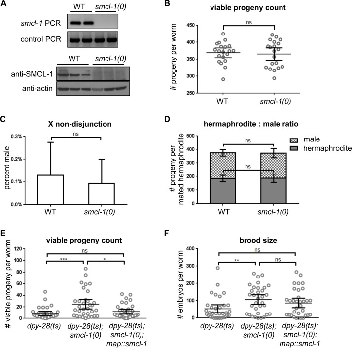 smcl-1 deletion does not cause condensin loss-of-function phenotypes, but can partially suppress lethality and sterility of a dpy-28 mutant. (A) PCR and Western blot analyses confirming genomic deletion of smcl-1 by a MosDEL strategy (see Methods ). (B-D) smcl-1(0) worms were assayed for phenotypes associated with condensin loss-of-function. (B) Viable progeny count: The number of total viable progeny produced throughout the lifetime of a hermaphrodite was counted from 20 wild-type and 20 smcl-1(0) worms. (C) X nondisjunction: Hermaphrodite and male progeny of unmated wild-type or smcl-1(0) hermaphrodite worms were counted to assay for an increase in spontaneous production of males, which indicates mis-segregation of the X chromosome. ~6,600 progeny were counted from each strain in four trials. (D) Hermaphrodite vs. male ratio: Hermaphrodite and male progeny of 10 mated wild-type or smcl-1(0) hermaphrodite worms were counted to assay for hermaphrodite-specific lethality. (E-F) The effect of deleting smcl-1 in the dpy-28(y1) hypomorphic, temperature-sensitive (ts) strain was assayed. (E) Viable progeny count: The number of total viable progeny produced throughout the lifetime of the worm was counted from 33 hermaphrodite worms of each specified genotype raised at the semi-permissive temperature of 18°C. (F) Brood size: The number of embryos laid throughout the lifetime of the worm was counted from 33 hermaphrodite worms of each genotype raised at the semi-permissive temperature of 18°C. Non-parametric Mann-Whitney test was used for all statistical analyses. *** denotes p ≤ 0.001; ** denotes p ≤ 0.01; * denotes p ≤0.05; ns = not significant. Bars represent 95% confidence intervals.
