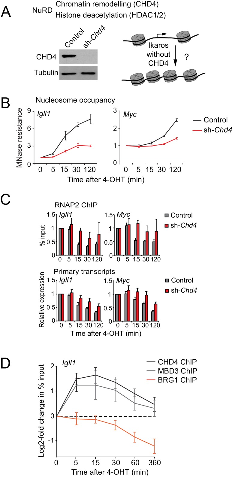 Ikaros controls promoter accessibility through NuRD-associated chromatin remodeling. ( A ) Left: CHD4 expression in control and Chd4 shRNA cells by western blotting. Tubulin is a loading control. One of 5 independent biological replicates. Right: Experimental outline. ( B ) MNase-PCR at the Igll1 and Myc promoters in control (black) or Chd4 shRNA cells (red) at the indicated times after 4-OHT. Mean ± SE, 3 independent biological replicates. Chd4 shRNA significantly reduced the Ikaros-induced increase in nucleosome occupancy at 15, 30 and 120 min at the Igll1 promoter and at 30 and 120 min at the Myc promoter. ( C ) RNAP2 ChIP-PCR (top) and MNase-PCR (bottom) at the Igll1 and Myc promoters after 4-OHT in control (black) or Chd4 shRNA cells (red). Mean ± SE, 3 independent biological replicates. RNAP2 binding was significantly reduced in control cells but not in Chd4 shRNA-treated cells from 5 to 120 min after 4-OHT at the Igll1 and the Myc promoter. Primary transcripts were significantly reduced in control but not in Chd4 shRNA-treated cells at 15 and 30 min for Igll1 and at 30 and 120 min for Myc . ( D ) ChIP-PCR for CHD4 (black), MBD3 (grey) and BRG1 (orange) at the Igll1 promoters at the indicated times after 4-OHT. Mean ± SE, 5 independent biological replicates for CHD4 and BRG1, 3 independent biological replicates for MBD3. CHD4 and MBD3 binding at the Igll1 promoter were significantly increased from 5 to 60 min. BRG1 binding was significantly decreased from 30 to 120 min. DOI: http://dx.doi.org/10.7554/eLife.22767.015 10.7554/eLife.22767.016 Numerical data used to generate Figure 4B,C and D . DOI: http://dx.doi.org/10.7554/eLife.22767.016