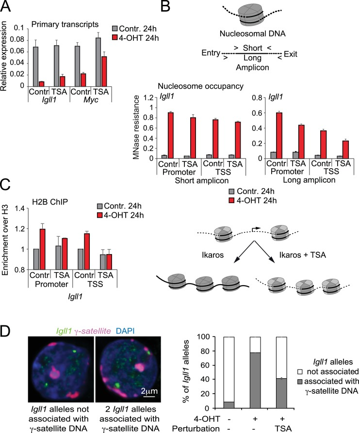Histone deacetylation contributes to stable gene silencing. ( A ) RT-PCR showed that 1 ng/ml TSA for 24 hr significantly relieved Ikaros-induced reduced repression of Igll and Myc primary transcripts. Mean ± SE, 3 independent biological replicates. ( B ) <t>MNase</t> PCR showed that 1 ng/ml TSA for 24 hr did not significantly affect protection of 80–120 bp amplicons (short, left) but significantly reduced protection of 130–140 bp amplicons (long, right) at the Igll1 promoter. Mean ± SE, 3 independent biological replicates. ( C ) ChIP-PCR to assess Ikaros-induced recruitment of histone H2B to the Igll1 promoter between control cells and cells treated with 1 ng/ml TSA for 24 hr. Enrichment was normalised to total H3. Mean ± SE, 3 independent biological replicates. TSA significantly blunted the Ikaros-induced increase the H2B/H3 ratio at the Igll1 promoter and TSS. ( D ) 3D DNA-FISH to monitor the position of Igll1 alleles (green) relative to γ-satellite DNA (red, blue is DAPI). The percentage of Igll1 alleles associated with γ-satellite DNA is shown as mean ± SE. Where indicated, cells were treated over night with TSA (1 ng/ml) and/or <t>4-OHT.</t> At least 300 Igll1 alleles were scored for each experimental condition across 3 independent biological replicates. The impact of TSA was statistically significant across replicates (p=9.54 × 10-18 GLM binomial logit). DOI: http://dx.doi.org/10.7554/eLife.22767.021 10.7554/eLife.22767.022 Numerical data used to generate Figure 6A,B,C and D . DOI: http://dx.doi.org/10.7554/eLife.22767.022