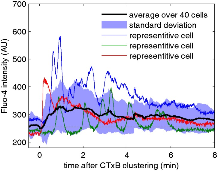 Cell surface clustering of cholera toxin subunit B elicits calcium mobilization in B cells. Cytosolic calcium levels were monitored in CH27 B cells both before and after biotinylated CTxB was clustered with streptavidin using the calcium indicator Fluo-4 as described in Methods. Colored curves represent raw fluorescence intensity traces for single cells and the average response of 40 cells is shown in black. The blue shaded region denotes +/- one standard deviation between the averaged cells. One reason for the broad width of this distribution is that individual cells oscillate between high and low fluorescent states, as apparent in the single cell traces. DOI: http://dx.doi.org/10.7554/eLife.19891.026