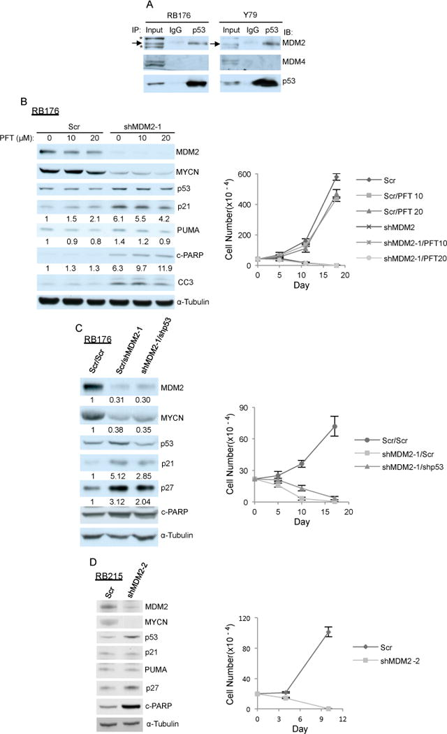 MDM2 maintains retinoblastoma cell proliferation in a p53-independent manner A. p53 association with MDM2 but not MDM4 in RB176 and Y79 cells detected by p53 or control IgG immunoprecipitation followed by MDM2, MDM4, and p53 western. *, a non-specific band seen with SMP-14 antibody. B. Western analysis after 6 h of treatment (left) and cell growth response (right) of RB176 cells treated with 10 μM or 20 μM PFT-α starting 4 days after infection with <t>lentivirus</t> expressing shRNA against MDM2 (shMDM2-1) or a scrambled control (Scr). C. Western analysis at day 4 (left) and cell growth response (right) of RB176 cells after infection with lentivirus co-expressing shMDM2 and shp53 or shMDM2 and Scr. Signal intensity was normalized to α-tubulin and expression relative to Scr control is indicated below corresponding panels. D. Western analysis at day 4 (left) and cell growth response (right) of TP53 R175H/R175H CHLA- RB215 cells after infection with lentivirus expressing shMDM2-2 or a scrambled control (Scr). A similar result was obtained separately using shMDM2-1 (not shown).