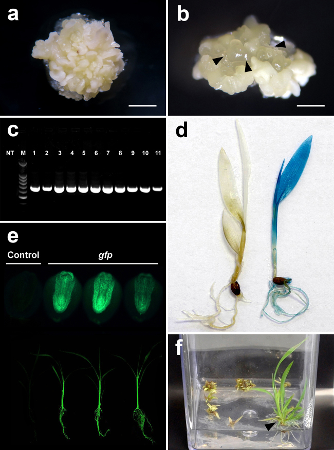 Agrobacterium tumefaciens -mediated transformation of Setaria viridis . (a) embryogenic callus after 5 weeks in CIM medium (bar = 2 mm). (b) translucent embryogenic callus most suitable for transformation (arrow heads, bar = 0.5 mm). (c) PCR analysis of the transgenic plants with gfp specific primer (NT: non-transgenic plant, lanes 1–11 transgenic plants, M: molecular weight marker – 100 bp DNA Ladder). (d) Transgenic plant expressing GUS (right) and non-transgenic (left). (e) Transgenic T1 seeds expressing GFP (top) and T 1 seedlings expressing GFP (bottom). (f) Regenerated transgenic plantlet in hygromicin-containing selective MS medium (arrow head).