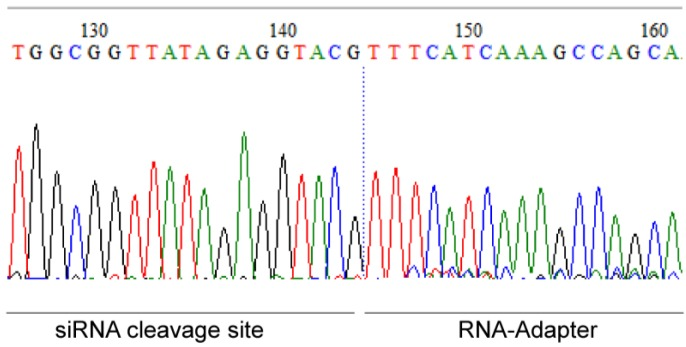 Sequence of 5′-RLM-RACE-PCR product (Inner PCR with Inner Primer and RACE1) of PLGA-ICAM-1 siRNA–treated EA.hy926 cells. The sequence shows the siRNA cleavage site of the ICAM-1 mRNA at bp 1818 (126–144) and the RNA Adapter sequence (145–161).