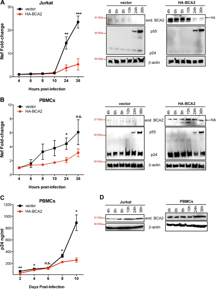 The BCA2-mediated block on NF-κB delays proviral transcription and replication in CD4 + T cells. Jurkat CD4 + T cells (A) and ConA-activated and <t>IL-2-expanded</t> human <t>PBMCs</t> (B) were transduced with a vector encoding HA-BCA2 or treated with an empty vector (pQCXIP). Forty-eight hours later, the cells were infected with HIV-1 NL4.3. Proviral transcription was assessed at the selected time points by measuring nef RNA levels by RT-qPCR. (Right) The cell lysates derived from these experiments were analyzed by Western blotting for β-actin, BCA2, and p55/p24. (C) HIV-1 NL4.3 replication was also assessed in PBMCs transduced with an empty vector or HA-BCA2 by measuring the amounts of capsid p24 released to the culture supernatant at days 2, 4, 6, 8, and 10 postinfection. (D) The endogenous levels of BCA2 and β-actin were monitored over time in uninfected Jurkat CD4 + T cells and human PBMCs. The data correspond to the mean and standard deviation of three biological replicates, measured in technical replicates. Values that are significantly different are indicated by asterisks (*, P ≤ 0.05; **, P ≤ 0.01; ***, P ≤ 0.001; n.s., not significant).