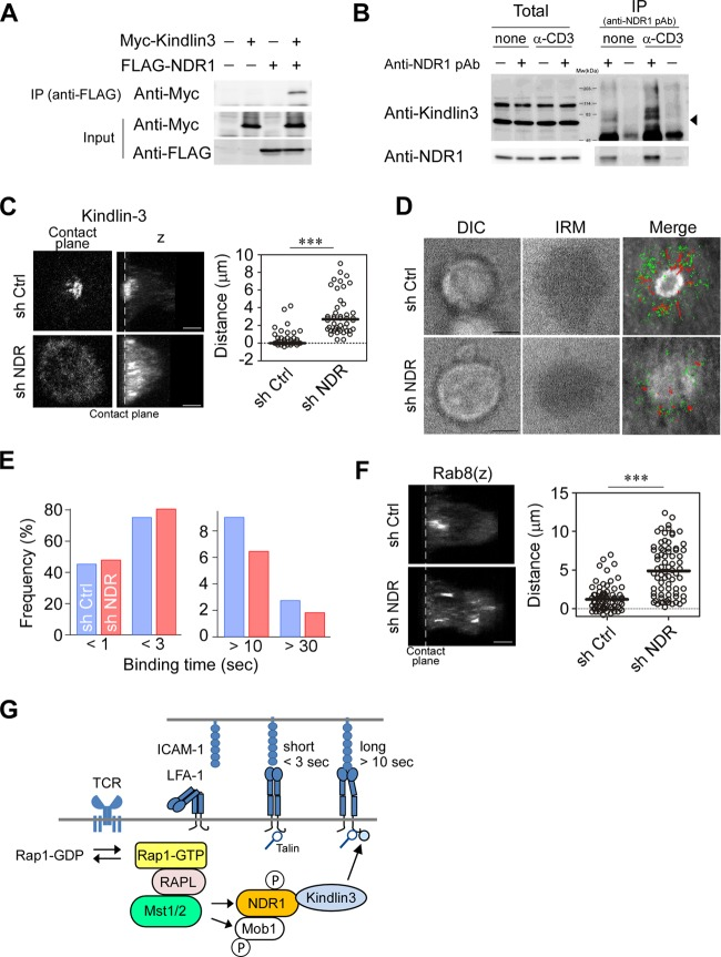 NDR1 regulates localization of kindlin-3 and Rab8. (A) Association of NDR1 and kindlin-3. 293T cells transfected with Myc–kindlin-3 and FLAG-NDR1 as indicated were subjected to immunoprecipitation (IP) of FLAG-NDR1 followed by <t>immunoblotting</t> for Myc–kindlin-3. (B) Primary T cells stimulated with anti-CD3 or left unstimulated were analyzed for association of NDR1 with kindlin-3. IP with anti-NDR Ab was immunoblotted for kindlin-3. Total and precipitated proteins are indicated. The arrowhead indicates the predicted molecular mass of kindlin-3 (75.6 kDa). (C) Mislocalized kindlin-3 in NDR1 knockdown T cell blasts. Representative views at the contact plane and 3D images ( z ) of NDR1 knockdown (sh NDR) and control (sh Ctrl) OT-II T cells. Distances of peak intensities from the contact plane of kindlin-3 are shown. Scale bars, 2.5 μm. ***, P