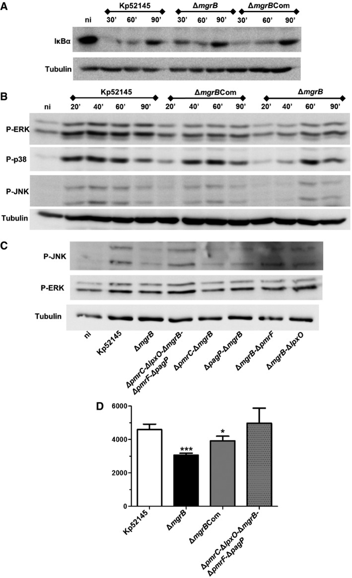 mgrB inactivation results in downregulation of early inflammatory responses in macrophages upon infection Immunoblot analysis of IκBα and tubulin levels in lysates of iBMDM cells infected with K. pneumoniae 52145, 52145‐Δ mgrB and 52145‐Δ mgrB Com for the indicated times. Immunoblot analysis of phospho‐ERK (P‐ERK), phospho‐p38 (P‐p38), phospho‐JNK (P‐JNK) and tubulin levels in lysates of iBMDMs cells infected with K. pneumoniae 52145, 52145‐Δ mgrB , 52145‐Δ mgrB Com and for the indicated times. Immunoblot analysis of phospho‐ERK (P‐ERK), phospho‐JNK (P‐JNK) and tubulin levels in lysates of iBMDMs cells infected with K. pneumoniae 52145, 52145‐Δ mgrB , 52145‐Δ pmrC ‐Δ lpxO ‐Δ mgrB ‐Δ pmrF ‐Δ pagP , 52145‐Δ mgrB ‐Δ pmrC , 52145‐Δ mgrB ‐Δ pagP , 52145‐Δ mgrB ‐Δ pmrF and 52145‐Δ mgrB ‐Δ lpxO for 40 min. TNF‐α secretion by iBMDM macrophages stimulated for 6 h with 1 × 10 5 UV‐killed K. pneumoniae 52145, 52145‐Δ mgrB , 52145‐Δ mgrB Com and 52145‐Δ pmrC ‐Δ lpxO ‐Δ mgrB ‐Δ pmrF ‐Δ pagP . *** P