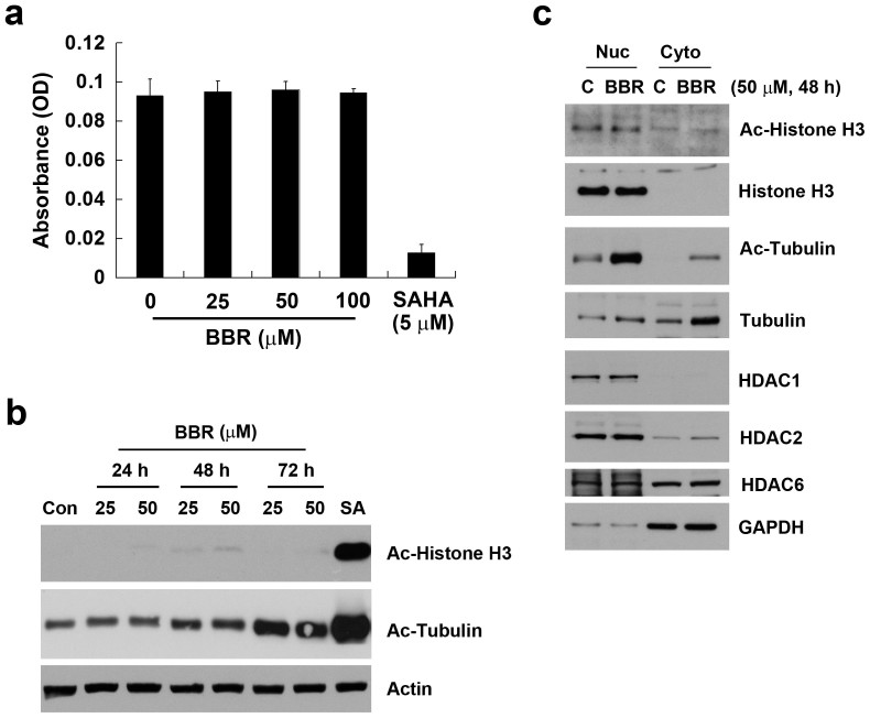 "Effect of BBR on HDAC activity and acetylation of histone H3 and <t>α-tubulin.</t> (a) Total cells lysates were incubated with various doses of BBR or 5 μM SAHA in HDAC assay buffer for 3 h. HDAC activity was initiated by adding the HDAC substrate and incubating at 37°C for 1 h. HDAC activity was measured by detecting the OD value at 405 nm. (b) MDA-MB-231 cells were treated with 25 or 50 μM BBR for 24 ~ 72 h or 1 μM SAHA for 24 h. Protein expressions of Ac-histone H3, Ac-α-tubulin and β-actin were analyzed by Western blotting. Images of each indicated probe were cropped from the same blot. (c) MDA-MB-231 cells were treated with 50 μM BBR for 48 h, and nuclear and cytosolic extracts were prepared as described in ""Methods"". Protein expressions of Ac-histone H3, histone H3, Ac-α-tubulin, α-tubulin, HDAC1, HDAC2, HDAC6, and GAPDH were analyzed by Western blotting. Images of each indicated probe were cropped from the same blot."