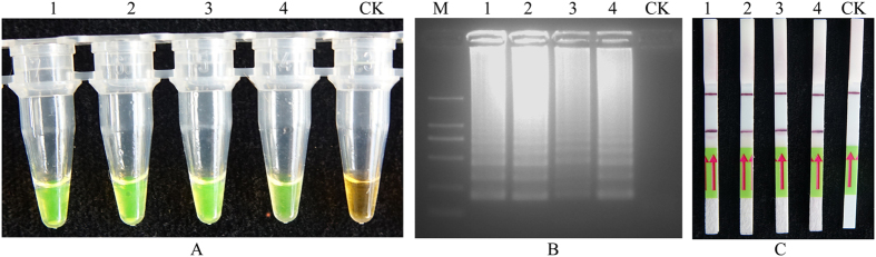 Loop-mediated isothermal amplification of DNA (LAMP) for detection of M. hapla . ( A ), LAMP products were visually observed with <t>SYBR</t> <t>Green</t> I fluorescence dye. ( B ), 2% agarose Gel electrophoresis separation of LAMP products. ( C ), A lateral flow strips (LFD) detection system was used to detect LAMP amplification. Lines 1–4 represent the M. hapla isolates Mh1, Mh2, Mh3, Mh4, CK, which was the negative control with no template DNA. M represents a DL2000 DNA size marker.