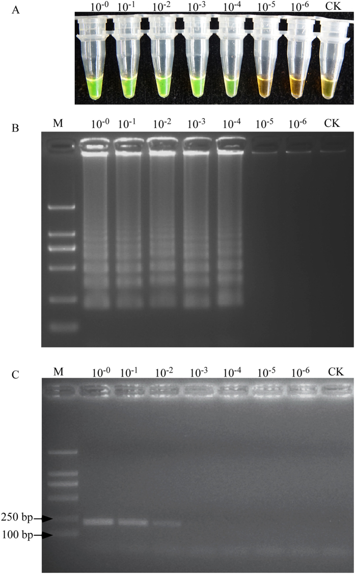 The sensitivity of the LAMP assay and the conventional PCR for detection of M. hapla . The two methods were carried out at the following, the negative control used water. The conventional PCR was performed with primers F3 and B3. ( A ) Sensitivity of the LAMP products detected by SYBR Green I fluorescence dye ( B ) Sensitivity of the LAMP products detected by gel electrophoresis. ( C ) Sensitivity of the conventional PCR products detected by gel electrophoresis. Concentrations of 10 −0 , 10 −1 , 10 −2 , 10 −3 , 10 −4 , 10 −5 and 10 −6 of single female nematode genomic DNA were used, CK represents no-template control. Lane M represents a DL2000 DNA size marker (ordinate values in bp).