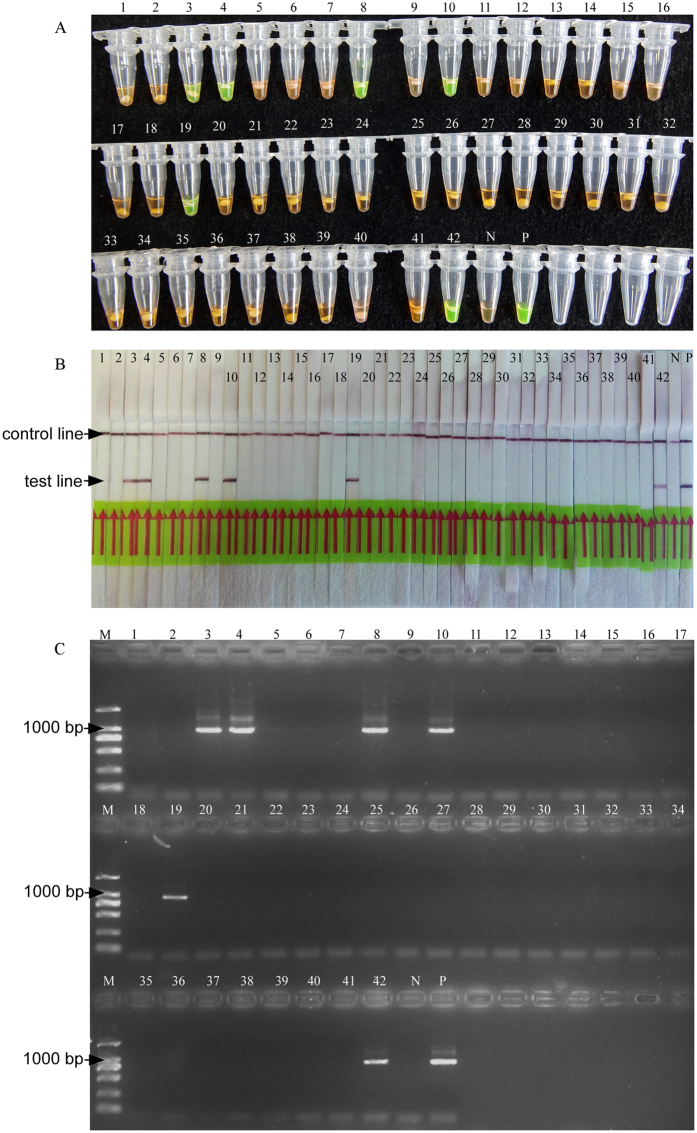 Application of LAMP and conventional PCR on field samples. The number of samples is identical to that in Supplementary Table 1 . N; negative control. P; positive control. ( A ) LAMP products detected by SYBR Green I fluorescence dye ( B ) LAMP products detected by LFD strip. ( C ) Conventional PCR products detected by gel electrophoresis.