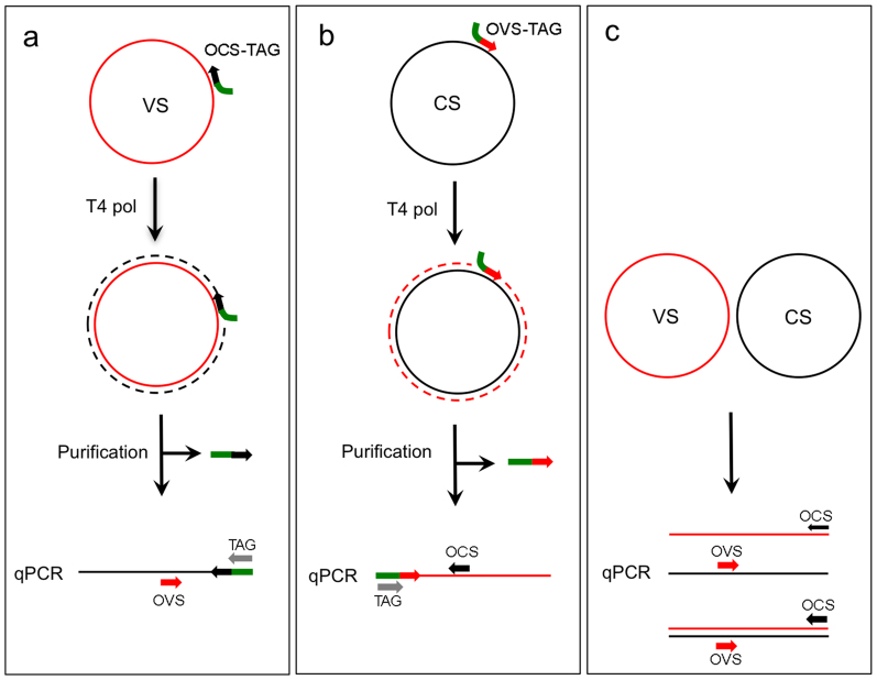 Schematic representation of a two-step quantitative PCR (qPCR) procedure for the quantification of virion-sense (VS) and complementary-sense (CS) DNA molecules. (A) Amplification of the VS strand using the OCS-TAG primer for T4 DNA polymerase extension and subsequent qPCR amplification with OVS and TAG primers. (B) Amplification of the CS strand using the OVS-TAG primer for T4 DNA polymerase extension followed by qPCR amplification with OCS and TAG primers. (C) qPCR to quantify both VS and CS strands using OVS and OCS primers. Primers used for T4 polymerase extension are removed prior to performing qPCR.