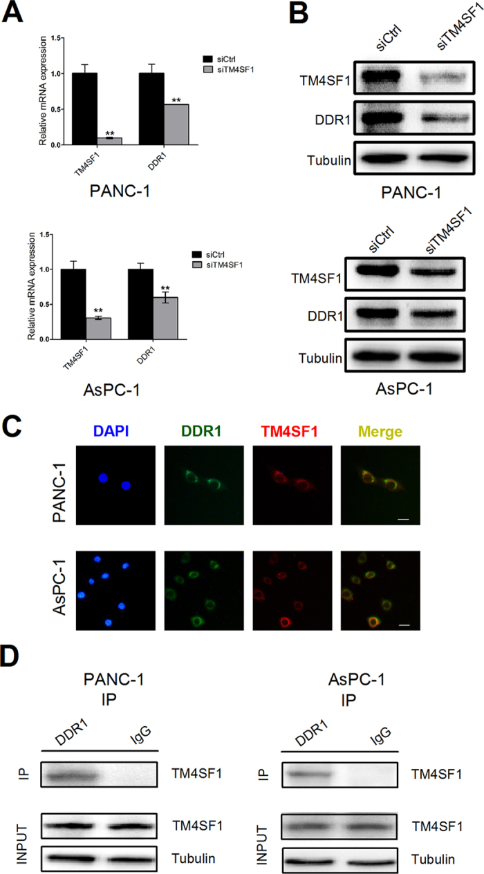 TM4SF1 regulates DDR1 expression and interacts with DDR1. ( A , B ) the mRNA and protein expression levels of TM4SF1 and DDR1 were detected by qRT-PCR and western bolt analysis. The mRNA and protein expression levels of DDR1 decreased significantly in PANC-1 and AsPC-1 after transfected with siTM4SF1. **P
