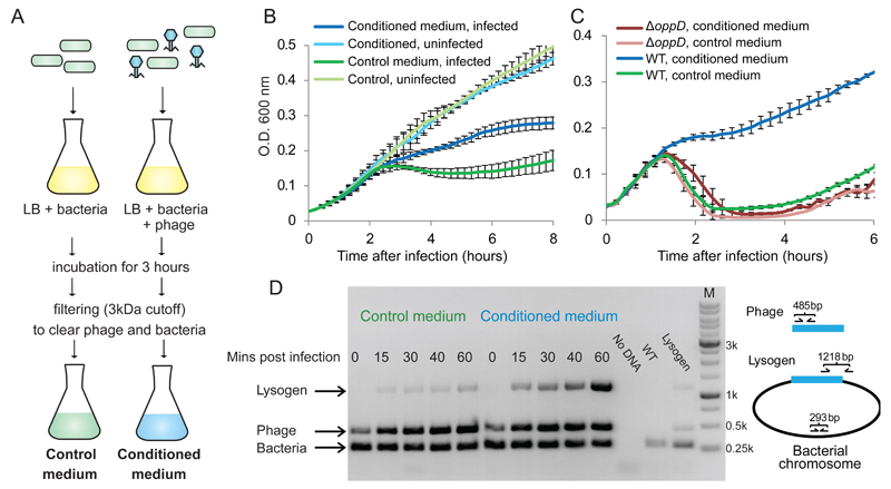 """Effect of conditioned media on the infection dynamics of phage phi3T. (A) Preparation protocol of control and conditioned media. (B) Growth curves of B. subtilis 168 infected by phi3T at MOI=0.1, in control and conditioned media. (C) Growth curves of B. subtilis strain 3610 (WT) and its derivative DS4979 ( oppD ::kan) infected by phi3T at MOI=0.1. For panels B-C, data represents average of 3 biological replicates, each with 3 technical replicates; error bars represent SE. (D) Semi-quantitative PCR assay for phage lysogeny during an infection time course of B. subtilis 168 with phi3T. """"No DNA"""", control without DNA; """"WT"""", DNA from uninfected culture; """"Lysogen"""", genomic DNA of a phi3T lysogen ."""