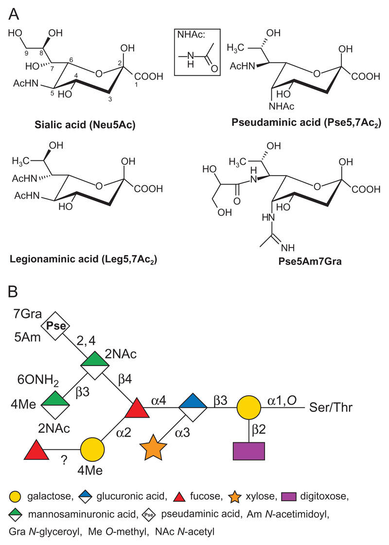 ( A ) Structures of Sia and Sia-like sugars (NulOs). Sialic acid (Neu5Ac), legionaminic acid (Leg5,7Ac 2 ) and pseudaminic acids (Pse5,7Ac 2 and Pse5Am7Gra) are shown. To note, Pse5Am7Gra is found as the terminal sugar of the S-layer glycan in T. forsythia ATCC 43037. For reference, the nine carbon atoms of Sia are numbered, and the structure of the NHAc group is shown in the boxed inset. ( B ) Schematic drawing of the structure of the S-layer O -glycan in T. forsythia ATCC 43037 (amended from Posch et al. (2011) ). This figure is available in black and white in print and in color at Glycobiology online.