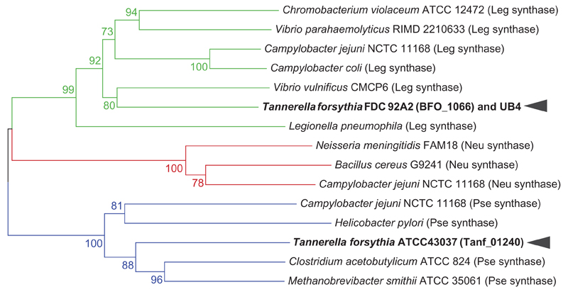 Phylogenetic clusters of selected microbial NulO synthase homologs. Based on the prediction of NulO sugar type by Lewis et al. (2009) , a distance-based neighbor joining tree calculated from the amino acid sequences of NulO synthase enzymes places Tanf_01240 of T. forsythia type strain ATCC 43037 in a phylogenetic clade of pseudaminic acid synthases, while BFO_1066 of strain FDC 92A2/UB4 is clustered with Leg synthases (bootstrap values shown at relevant nodes). Green denotes Leg synthases, red Neu synthases and blue Pse synthases. This figure is available in black and white in print and in color at Glycobiology online.