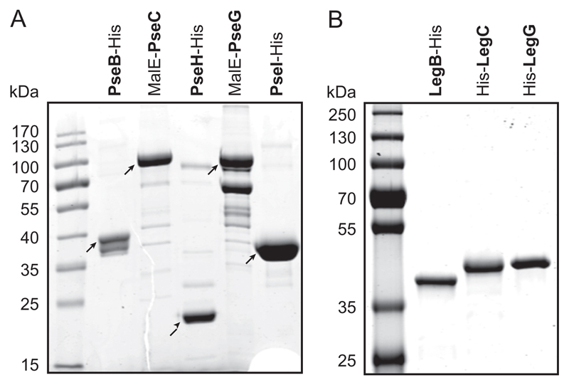 SDS-PAGE gels (12%) of purified recombinant enzymes of the ( A ) CMP-Pse biosynthesis pathway from T. forsythia ATCC 43037 and ( B ) CMP-Leg biosynthesis pathway from T. forsythia FDC 92A2/UB4.