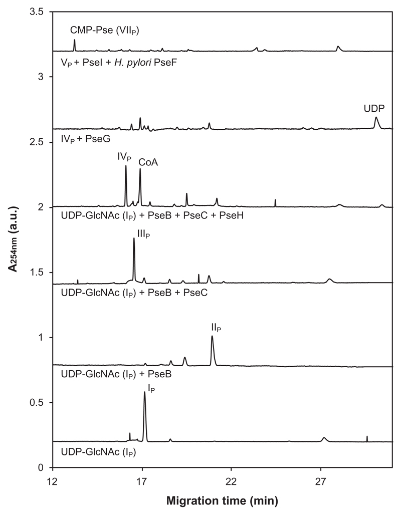 "CE analysis of the reaction products obtained by the incubation of UDP-GlcNAc (I P ) upon sequential addition of PseB-His 6 , forming UDP-2-acetamido-2,6-dideoxy-β- l - arabino -hexos-4-ulose (II P ); PseC-MBP, forming UDP-4-amino-4,6-dideoxy-β-L-AltNAc (III P ); PseH-His 6 , forming UDP-2,4-diacetamido-2,4,6-trideoxy-β- l - altro -pyranose (IV P ) and PseG-MBP, releasing UDP. Lastly, the combined action of PseI-His 6 and H. pylori PseF convert 2,4-diacetamido-2,4,6-trideoxy-β- l - altro -pyranose (V P ) via Pse5,7Ac 2 (VI P ) to CMP-Pse5,7Ac 2 (VII P ). Subscript ""P"" indicates intermediates from the CMP-Pse biosynthesis pathway."