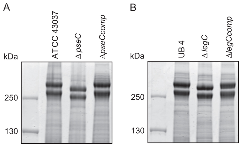 SDS-PAGE analysis of T. forsythia parent, NulO-deficient, and complemented strains. ( A ) CBB stained SDS-PAGE (7.5% gel) of whole cell extracts from T. forsythia ATCC 43037, ATCC 43037 Δ pseC and the complemented strain ATCC 43037 Δ pseC comp , and ( B ) T. forsythia UB4 wild-type, UB4 Δ legC and the complemented strain UB4 Δ legC comp . For both T. forsythia ATCC 43037 Δ pseC and UB4 Δ legC , a downshift of the S-layer protein bands (TfsA and TfsB) could be observed, which was reverted in the complemented strains.