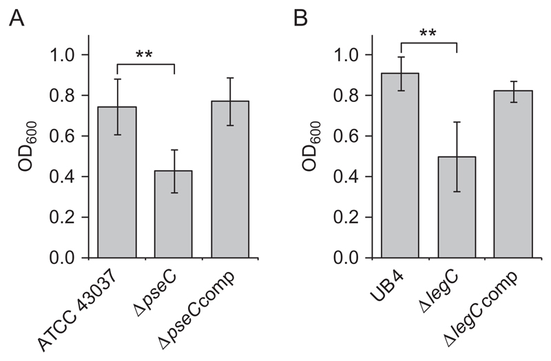 Knockout of pseC and legC decreases biofilm formation of T. forsythia ATCC 43037 and T. forsythia UB4 cells, respectively. ( A ) Biofilm formation in T. forsythia ATCC 43037 wild-type compared to ATCC 43037 Δ pseC and the complemented strain ATCC 43037 Δ pseC comp . ( B ) Biofilm formation in T. forsythia UB4 wild-type compared to UB4 Δ legC and the complemented strain T. forsythia UB4 Δ legC comp . Data represent mean values ± SD of at least four independent experiments with four replicates each and were analyzed by the unpaired Student's t-test. Asterisks indicate significant differences (** P