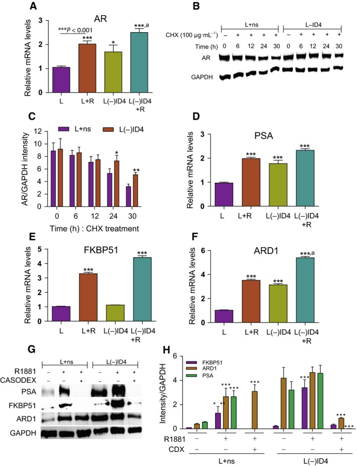 Expression of AR and AR ‐regulated genes/proteins in L+ns and L(−) ID 4 cell lines. (A) AR mRNA levels in L+ns and L(−) ID 4 cells were determined by quantitative real‐time (q RT )‐ PCR analysis in response to R1881 (R, 10 n m ). Data ( n = 3) are normalized to GAPDH followed by relative expression compared with the AR gene in L+ns (set to 1). (B) Immunoblot analysis of AR in response to cycloheximide ( CHX , 100 μg·mL −1 ) treatment. Cells were treated with cycloheximide for the indicated time points (0, 6, 12, 24, and 30 h) followed by AR immunoblot analysis. (C) Semiquantitative AR protein levels (from B) normalized to GAPDH (loading control) and then to the individual AR protein levels in L+ns and L(−) ID 4 cells. (D–F) q RT ‐ PCR analysis of AR ‐regulated genes PSA , FKBP 51, and ARD 1 in L+ns and L(−) ID 4 cells in response to R1881 (10 n m ) in 10% cs FBS . Data were normalized to GAPDH followed by relative expression compared with the respective genes in L+ns (set to 1). (G) AR ‐dependent protein expression of PSA , FKBP 51, and ARD 1 in L+ns and L(−) ID 4 cells cultured for 24 h in 10% cs FBS before treatment with R1881 (10 n m ) and/or R1881 (10 n m ) ± Casodex (30 μ m , antiandrogen) for another 24 h. (H) Semiquantitative FKBP 51, ARD 1, and PSA protein levels normalized to GAPDH (loading control) and then to the individual protein levels in L+ns and L(−) ID 4 cells. Data are mean ± SEM ( n = 3; *: P