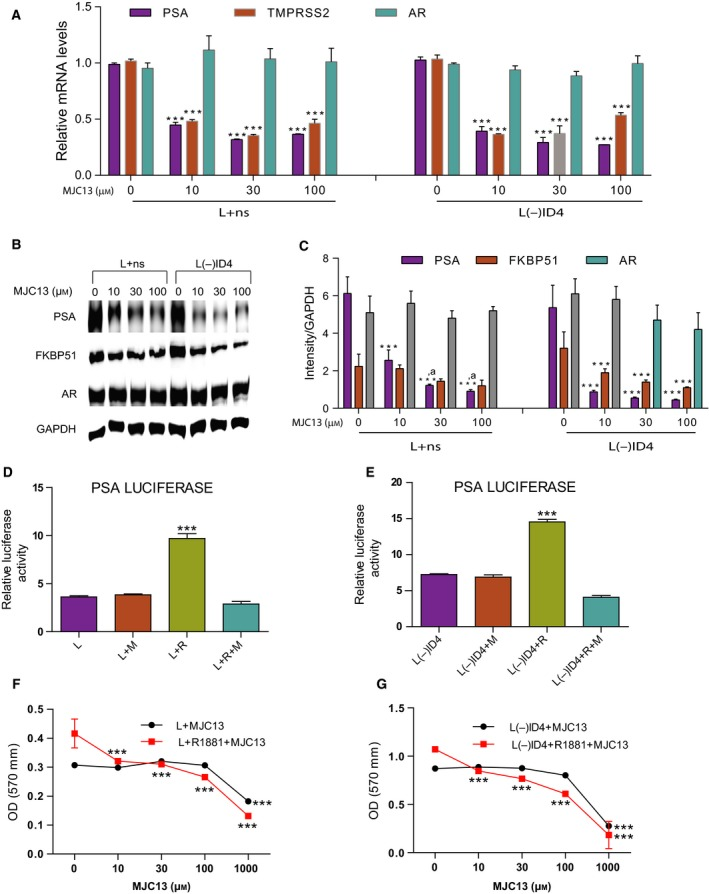 Inactivation of ID 4 in LNC aP cells promotes constitutive AR activation through FKBP 52. (A) PSA , TMPRSS 2, and AR gene expression levels in L+ns and L(−) ID 4 cells were assessed by q RT ‐ PCR analysis. Cells were treated for 24 h with increasing concentrations of MJC 13 as indicated above in the presence of 10% FBS . Data were normalized to GAPDH followed by relative expression compared with the respective genes in L+ns and L(−) ID 4 (set to 1). (B) Immunoblot analysis of AR and AR ‐regulated proteins PSA and FKBP 51 in L+ns and L(−) ID 4 cells treated for 24 h with increasing concentrations of MJC 13 as indicated above. (C) Semiquantitative protein expression (from B) of PSA , FKBP 51, and AR protein levels was normalized to GAPDH and then to the individual protein levels in L+ns and L(−) ID 4 cells. (D, E) The AR transcriptional activity was determined by transiently transfecting L+ns and L(−) ID 4 cells with the AR response element‐driven luciferase reporter plasmid ( PSA luciferase), then treated with MJC 13 (30 μ m ) for 1 h followed by the addition of R1881 (1 n m ) or vehicle for additional 24 h. The data are normalized to Renilla luciferase. The mutated AR luciferase reporter plasmid ( ARR 3‐luciferase) was used as a negative control. The AR luciferase reporter activity in L+ns and L(−) ID 4 cells treated with MJC 13 was normalized to control L+ns and L(−) ID 4 cells. (F, G) Proliferation rate of L+ns and L(−) ID 4 cells treated with MJC 13 concentrations as indicated above in the absence or presence of R1881 (1 n m ) for 24 h. Data are presented as mean ± SEM ( n = 3; ***, *** ,a : P