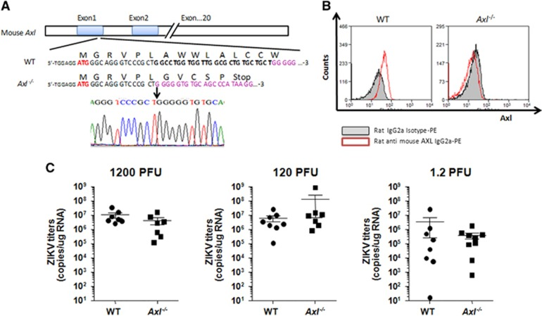 Zika virus infection in Axl knockout ( Axl −/− ) mice. ( A ) Generation of BalB/c- Axl knockout ( Axl −/− ) mice. A 26-bp deletion was introduced into exon 1 of Axl using CRISPR/Cas9, resulting in premature termination of translation (indicated). The deletion was confirmed by sequencing. ( B ) Confirmation of Axl knockout using fluorescence-activated cell sorting. Monocytes isolated from the spleens of WT and Axl −/− mice were stained with rat anti-AXL antibody. ( C ) Axl −/− mouse brains support Zika virus infection. Neonatal mice underwent intracerebral inoculation with Zika virus at 1200, 120 and 1.2 PFU/mouse. Zika virus titers in the brain were measured using real-time PCR. No significant difference ( P > 0.05) was observed between WT and Axl −/− mice. plaque-forming unit, PFU; wild type, WT.