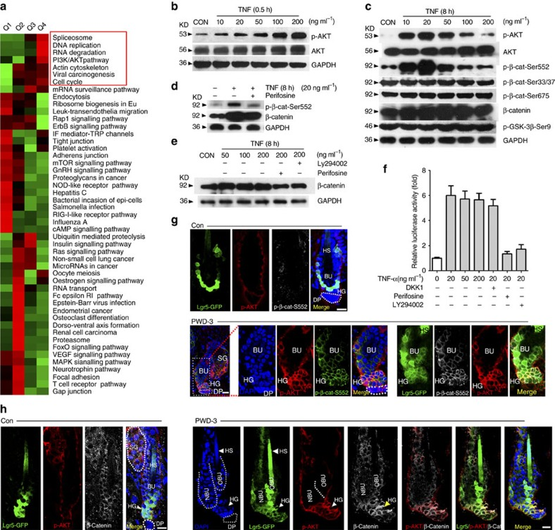 TNF activates the PI3K/AKT pathway in HF stem cells. ( a ) Using TMT labelling and affinity enrichment followed by high-resolution LC–MS/MS and quantitative phosphor-proteomics, functional enrichment-based cluster analysis identified up-regulated signals in cultured epidermal stem cells after TNF-α treatment. ( b ) Western blot analysis of p-AKT (at Serine 473) and total AKT in cultured murine epidermal stem cells in the presence of different concentrations of TNF-α for 0.5 h. For all western blot analysis, data are representative of 3–5 independent experiments. ( c ) TNF-α treatment (8 h) resulted in no obvious changes in p-GSK-3β(ser9) and p-β-catenin (Ser33/37/Thr45, Ser675) but significantly increased the level of p-β-catenin (Ser552), which also showed in a TNF-dose-dependent manner, quite similar to p-AKT. ( d ) Perifosine diminished p-β-catenin (Ser552) levels that were elevated by TNF-α in cultured epidermal stem cells. ( e ) Western blot analysis indicated that TNF-α increased the level of β-catenin, and the effect was attenuated by Perifosine or <t>LY294002.</t> ( f ) TCF/LEF Dual-luciferase reporter analysis showed the relative transcription activity in differently treated groups. ( g ) At PWD-3, both p-AKT (Ser473) and p-β-catenin (Ser552) were detected in the wound adjacent to Lgr5 + hair follicle stem cells, and the p-AKT (Ser473) and p-β-catenin (Ser552) were highly co-localized. ( h ) At PWD-3, accumulated β-catenin was detected in the wound adjacent to Lgr5 + hair follicle stem cells, and the accumulated β-catenin was highly co-localized with p-AKT (Ser473). Scale bars, 30 μm.