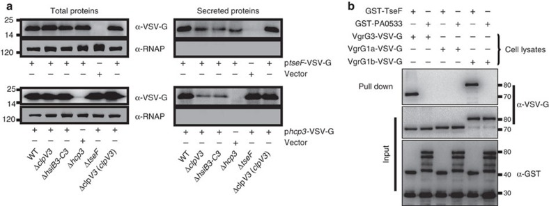 TseF is a substrate of H3-T6SS. ( a ) A plasmid directing the expression of TseF-VSV-G chimera was introduced into the indicated P. aeruginosa strains. Total protein or proteins in culture supernatant was probed for the presence of the fusion protein. The cytosolic RNA polymerase (RNAP) was similarly detected as a control. Note that deletion of H3-T6SS component genes clpV3 , hsiB3-C3 or hcp3 drastically reduced the release of TseF-VSV-G into extracellular milieu. ( b ) TseF interacts with VgrG3 and VgrG1b. GST-TseF was incubated with three different VgrG proteins, and protein complexes were captured by glutathione beads. Note that TseF can be co-purified with VgrG3 or VgrG1b but not VgrG1a. The unrelated protein PA0533 cannot be co-purified with any of the tested proteins. Full blots are shown in Supplementary Fig. 14 .