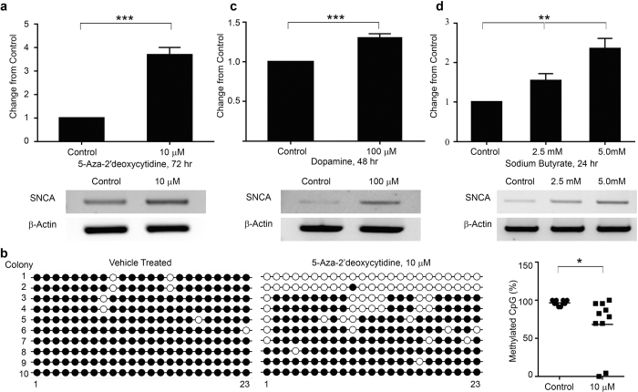293T- SNCA -3′NL cells having the NanoLuc integration can be used to model deregulated SNCA as seen in sporadic PD. ( a ) 293T- SNCA -3′NL cells treated with 10 μM 5-AzadC for 72 hours which induced a significant increase in the NanoLuc activity as compared to the control. The NanoLuc activity was corroborated by increase in α-SYN transcript as shown in the RT-PCR. ( b ) Methylation status of 23 CpG sites on the SNCA intron1 was determined by bisulfite sequencing. Amplified PCR products were cloned into pGEM-T Easy vector and 10 clones were sequenced. (Left) Comparison of vehicle and 5-AzadC treatment (10 μM, 72 hours) showing unmethylated (open circles) and methylated (closed circles) cytosines for all 10 clones (y-axis) at each of the 23 CpGs in intron1 (x-axis). (Right) Scatter plot showing overall decrease in methylation by 31.7% compared to the control. ( c ) Similarly, 293T- SNCA -3′NL cells treated with dopamine at 100 μM concentration for 48 hours, increased NanoLuc activity significantly. Increase in the NanoLuc activity was confirmed by RT-PCR after dopamine treatment. ( d ) Following HDAC inhibitor (sodium butyrate) treatment at concentrations of 2.5 mM and 5.0 mM for 24 hours, the 293T- SNCA -3′NL cells showed a significant dose dependent increase in the NanoLuc activity. This dose-dependent increase in the NanoLuc activity was also confirmed by RT-PCR following same treatment paradigm. β-actin amplification was used as an internal control for all the PCRs. Error bars show the mean from three technical repeats. p values are given for t-test (5-AzadC, dopamine), one-way ANOVA (Sodium butyrate) where *represents p