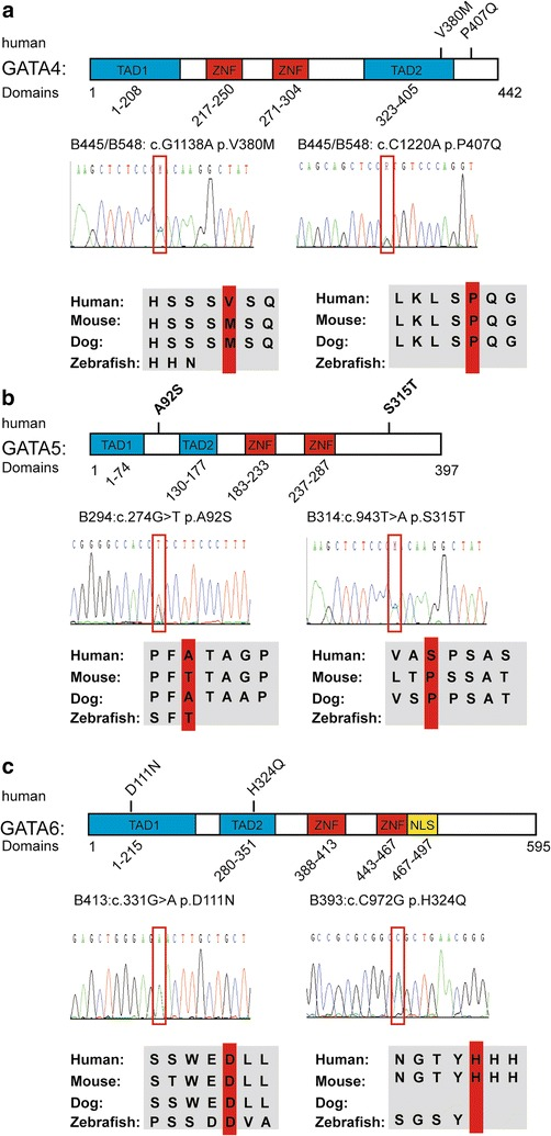 Variants in the GATA family members. Blue boxes represent the transcription activation domains (TADs), and red boxes indicate the Zinc finger domains (ZFN). Sanger sequencing data are displayed, and the variants are shown in the red frames . Alignment of amino acid residues adjacent to the variants shows a conservation among different species, including human, mouse, dog and zebrafish. a Human GATA4 protein domain with the variants identified in the TOF patients. The GATA4 protein is composed of four functional domains. V380 M is located in the second TAD, and P407Q is located near the second TAD. Sanger sequencing data are displayed, and the variants are shown in the red frames . Amino acid in 407 is conserved in human, mouse and dog but not in zebrafish. b Human GATA5 protein domain with the variants identified in the TOF patients. GATA5 protein also has four functional domains, and the two novel variants are not located in the functional domain. Sanger sequencing data are displayed, and the variants are shown in the red frames . c Human GATA6 protein domain with the variants identified in the TOF patients. The GATA6 protein has five functional domains, including two TADs, two ZNFs and one nuclear location signal (NLS), which is presented by the yellow box . The variants D111 N and H324Q are localized at the TAD1 and TAD2, respectively. The amino acid in 111 is highly conserved in human, mouse, dog and zebrafish