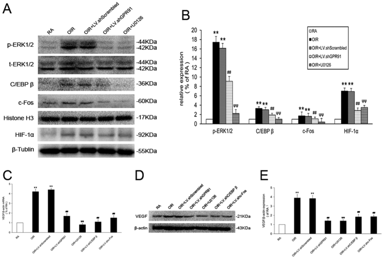 GPR91 modulated the increase in VEGF via the ERK1/2/ C/EBP β (c-Fos, HIF-1α) pathway in OIR rats. ( A ) Western blot analysis of ERK1/2 signaling, C/EBP β, c-Fos and HIF-1α activation in samples from each group. ( B ) Quantitative analysis of band density. ( C ) qRT-PCR analysis for VEGF mRNA in retinal ganglion cells from each group. ( D ) Western blot analysis of VEGF expression in samples from each group. ( E ) Quantitative analysis of the band density. Each column denotes the mean ± SD (n = 3). ** P