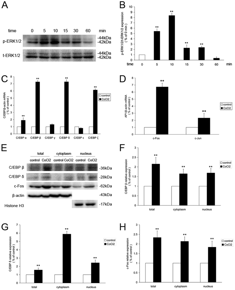 CoCl 2 -induced activation of ERK1/2 signaling, C/EBP and AP-1 in retinal ganglion cells. ( A ) Western blot analysis of ERK1/2 phosphorylation in retinal ganglion cells treated with 200 μM CoCl 2 for different periods of time. ( B ) Quantitative analysis of the band density of p-ERK1/2/t-ERK1/2. ( C ) qRT-PCR analysis of C/EBP subtypes in retinal ganglion cells treated with 200 μM CoCl 2 for 24 h. ( D ) qRT-PCR analysis of AP-1 subtypes in retinal ganglion cells treated with 200 μM CoCl 2 for 24 h. ( E ) Changes in C/EBP β, C/EBP δ and c-Fos protein levels in CoCl 2 -induced retinal ganglion cells treated for 24 h. ( F – H ) Quantitative analysis of the band density. Each column denotes the mean ± SD (n = 3). ** P