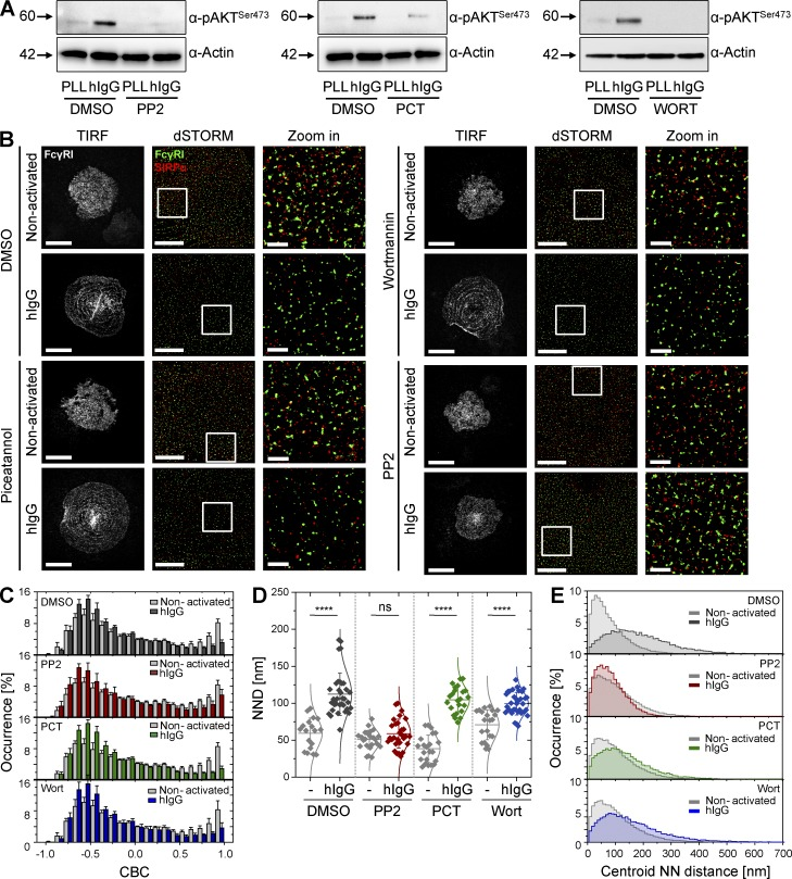 Src-family kinase signaling, but not Syk or PI3K signaling, is indispensable for reorganization of macrophage surfaces. (A) Immunoblots of phosphorylated AKT in nonactivated (PLL) or hIgG-activated human macrophages pretreated with vehicle (DMSO), as a control, 10 µM <t>PP2</t> (left), 100 µM piceatannol (PCT; middle), or 1 µM wortmannin (Wort; right). Blots represent two independent experiments. (B) TIRF image of FcγRI (white; bars, 20 µm) and dSTORM images (bars, 5 µm) of FcγRI (green) and SIRPα (red) at the surface of human macrophages incubated with vehicle (DMSO), PP2, PCT, or Wort, pretreated as in A. Cells were then seeded onto slides coated with PLL (nonactivated) or hIgG for 10 min and stained with anti–FcγRI-AF488 and anti–SIRPα-AF647 mAbs. In each condition, regions outlined by the white squares (middle column) are shown enlarged (right column). Bars, 1 µm. (C) CBC histograms for FcγRI and SIRPα in cells pretreated as in A and seeded onto slides coated with PLL (gray) or hIgG (DMSO, dark gray; PP2, red; PCT, green; and Wort, blue) for 10 min, as indicated. Data are from a minimum of 30 cells from three independent donors. Bars show mean ± SD. (D) NND analysis from data shown in C. Each symbol represents the median NND of all paired single-molecule localizations from one cell. Horizontal lines and error bars represent mean ± SD. ns, not significant; ****, P