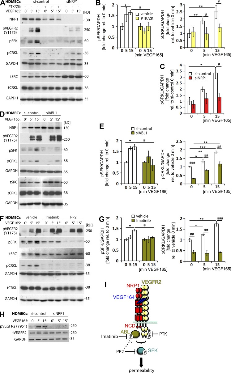 VEGFR2 and NRP1 are required for VEGF165-induced SFK activation via ABL1 . (A–C) Confluent HDMEC cultures transfected with si-control or siNRP1 were serum-starved and treated with VEGF165 for the indicated times. Cultures were also treated with vehicle (-) or PTK/ZK (+) for 30 min before VEGF165 stimulation. Lysates were used for immunoblotting with the indicated antibodies (A), followed by quantification of pSFK levels (B, left) and pCRKL levels (B', right, and C) relative to GAPDH (four independent experiments). Each of the two vertical lines indicated a group of immunoblots from a single gel, with both gels containing aliquots of the same protein lysate. (D–E) Confluent HDMEC cultures transfected with si-control or siABL1 were serum-starved and treated with VEGF165 for the indicated times. Lysates were used for immunoblotting with the indicated antibodies (D), followed by quantification of pSFK levels (E, left) and pCRKL levels (E', right) relative to GAPDH (four independent experiments). Each of the two vertical lines indicates a group of immunoblots from a single gel, with both gels containing aliquots of the same protein lysate. The spacer line (D, bottom) separates lanes 4–6 (left) from lanes 1–3 (right) of immunoblots from the gel in Fig. S1. (F–G) Confluent HDMEC cultures were serum-starved and treated with vehicle, Imatinib or PP2 for 30 min before VEGF165 stimulation for the indicated times. Lysates were used for immunoblotting with the indicated antibodies (F), followed by quantification of pSFK levels (G, left) and pCRKL levels (G', right) relative to GAPDH (three independent experiments). Each of the two vertical lines indicates a group of immunoblots obtained from a single gel, with both gels containing aliquots of the same protein lysate. In B, E, and G (left) data are expressed as fold change, mean ± SEM, in VEGF165-treated cells at 5 and 15 min relative to 0 min; in C and B, E, and G (right), data are expressed as fold change, mean ± SEM, in VEGF165-treated cells at 5 and 15 min relative to control cells at 0 min; asterisks indicate P-values for induction after VEGF165 treatment (*, P
