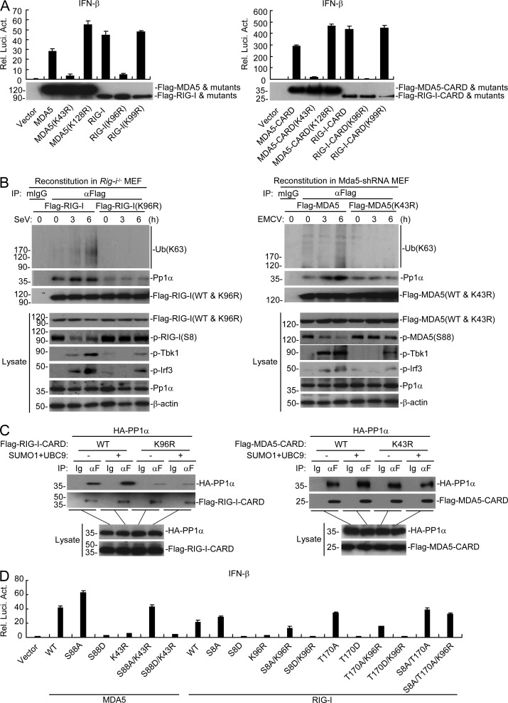 Sumoylation of the CARDs of MDA5 and RIG-I is critical for their recruitment of PP1α. (A) Effects of MDA5, RIG-I, and their mutants on activation of the <t>IFN-β</t> promoter. HEK293 cells were transfected with the indicated plasmids for 24 h before luciferase assays. (B) Effects of sumoylation-defective mutation of the CARDs of RIG-I and MDA5 on their dephosphorylation, K63-linked polyubiquitination and recruitment of PP1α after viral infection. The reconstituted MEFs were left uninfected or infected with SeV or EMCV for the indicated times, followed by immunoprecipitation. The immunoprecipitates were divided into two equal portions, and one was used for immunoblot analysis with the PP1α antibody and the other was lysed in denaturing conditions and reimmunoprecipitated for endogenous ubiquitination detection. (C) Effects of sumoylation of RIG-I-CARD or MDA5-CARD on their interactions with PP1α. HEK293 cells were transfected with the indicated plasmids for 24 h, followed by coimmunoprecipitation and immunoblotting analysis. (D) Effects of RIG-I-, MDA5- and their mutants on activation of the IFN-β promoter. HEK293 cells were transfected with the indicated plasmids for 24 h followed by luciferase assays. Data in A and d are from one representative experiment with three technical replicates (mean ± SD). All the experiments were repeated three times.